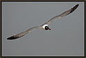 Laughing Gull 1563